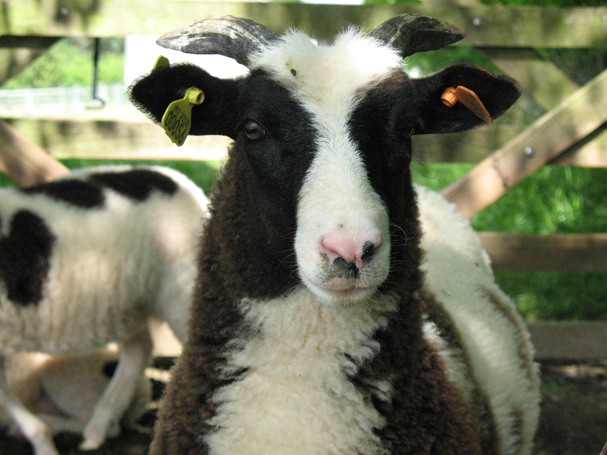 jacob sheep, hand-spun yarn, hand-dyed fleece